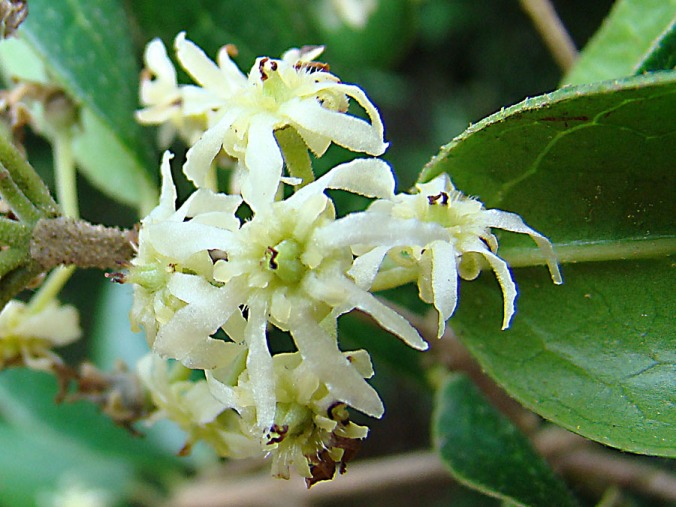 boldo flower   Peumus boldus   Monimiaceae