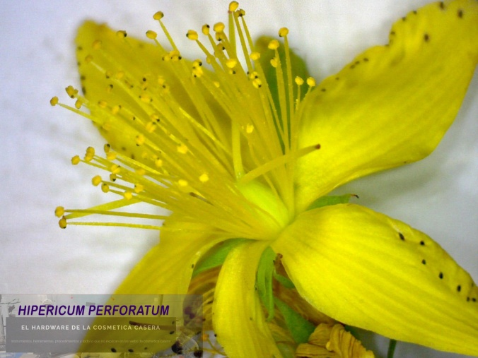Hiperico flor