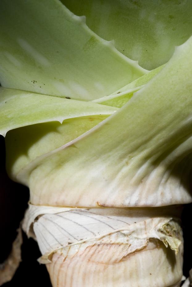 hojas raiz