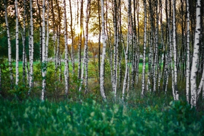birch-forest-woods-sunset